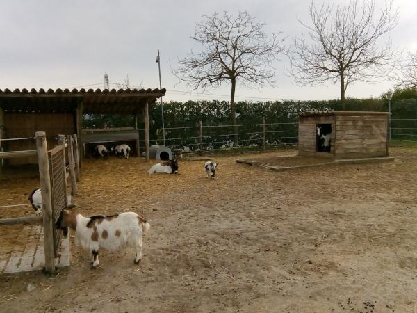 fattoria con caprette nane