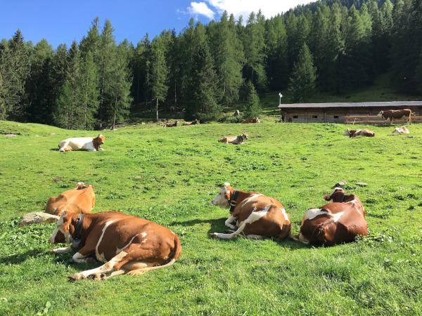 prato circondato dal bosco con mucche sdraiate